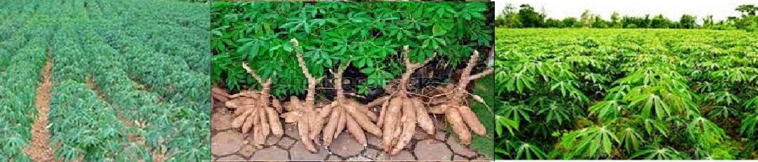 CASSAVA PLANTATION & PROCESSING: THIS IS THE EDO STATE COMMUNITY BUSINESS PLAN.